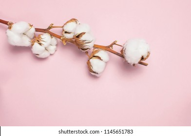 Cotton branch on pink background Flat lay Top view. Delicate white cotton flowers. Light color cotton background.