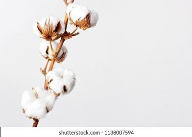 Baumwollzweig auf weißem Hintergrund. Delikate weiße Baumwollblumen. Heller Baumwollhintergrund, flacher Hintergrund.