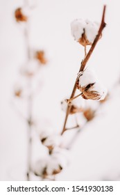 Cotton branch on white background. Home decor. Blog, website or social media concept. Dried white fluffy cotton flowers, flat lay. Background with text space