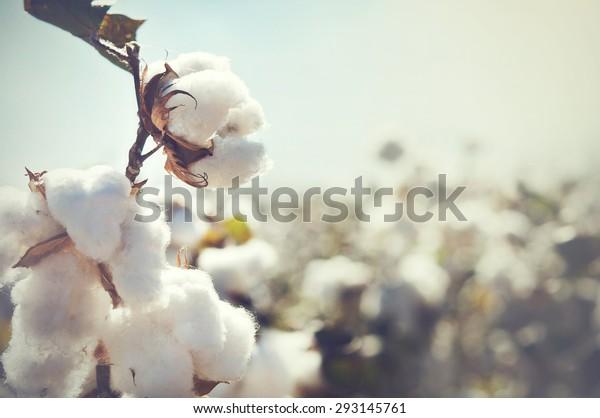 Baumwollpflanzenlandschaft mit Kopienraum