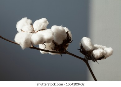 cotton cultivated field agriculture background