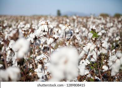 Cotton field. Adana, Turkey.
