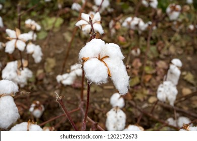 Cotton field agriculture
