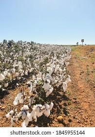 Cotton field Brasilia road side