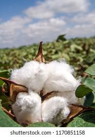 cotton in the field in Brazil