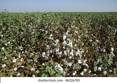 Cotton in the field, Central California, just before harvesting
