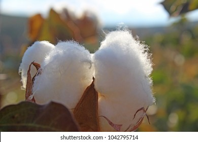 Cotton in a field - close up