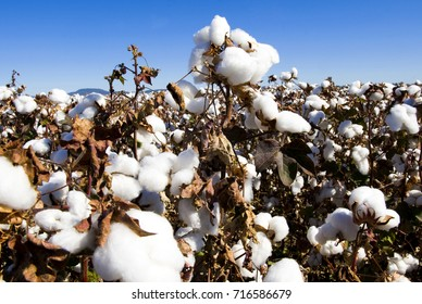 Cotton field close up.