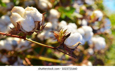 Cotton field and crop ready to harvest