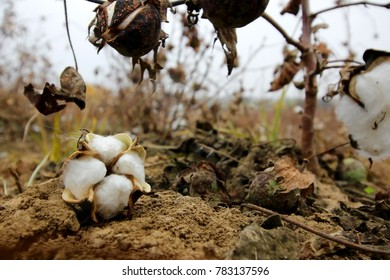 Cotton in a field during the harvest