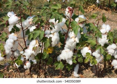 Cotton field in Greece ready for harvesting