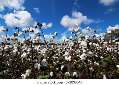 cotton field on beautiful day with blue sky and clouds