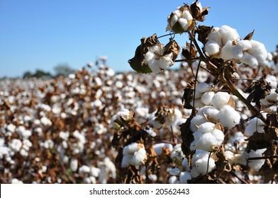 Cotton in field on farm in Alabama.