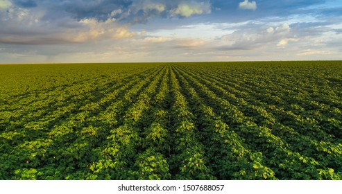 Cotton field, open field with blue sky aerial photo