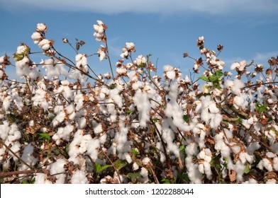 Cotton Field in Picking season