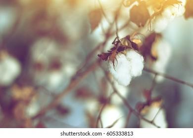 cotton field, cotton plant flower branch on sunset light  background