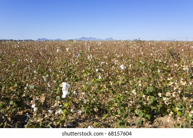 Cotton field ready for harvesting in late autumn