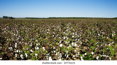 Cotton Field ready for harvesting in southern Georgia