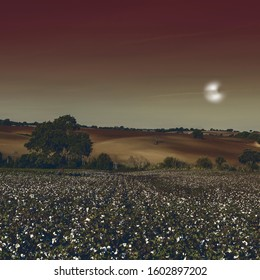 Cotton field in Spain ready for harvests in the light of the moon. Breathtaking landscape and nature of the Iberian Peninsula