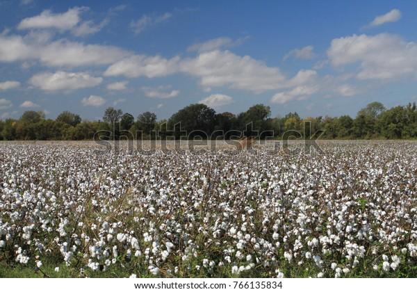 Cotton field in the sun