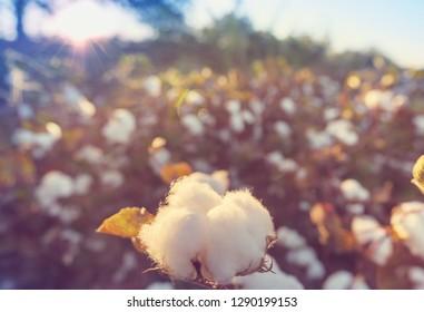 Cotton field at sunrise.