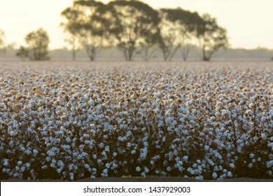 Cotton field at Warren, northwestern New South Wales, Australia, irrigated from the Macquarie River.