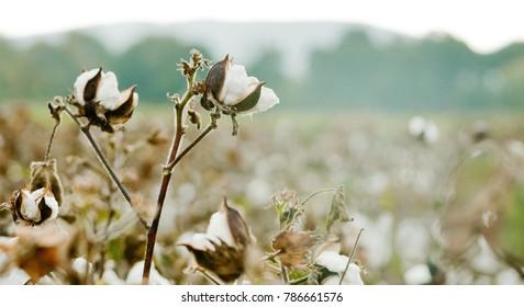 Cotton Fields in Alabama