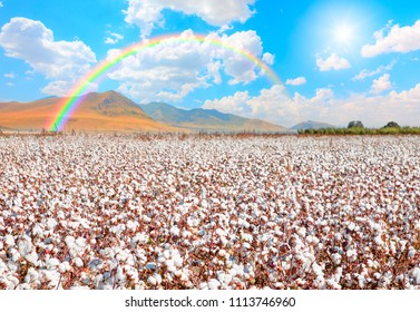Cotton fields ready for harvesting with rainbow