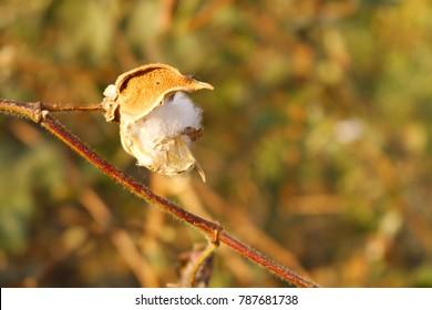 cotton flower tree