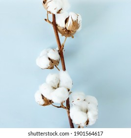 cotton flowers on blue  background top view,  . Minimal floral card