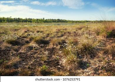 cotton grass (Eriophorum vaginatum) in a wide bog landscape in spring, Venner Moor, Lower Saxony, copy space, selected focus