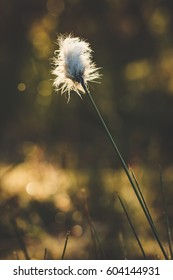 Cotton grass in the forest and blurry background