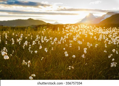 Cotton grass in the mountain valley on sunset. Norway