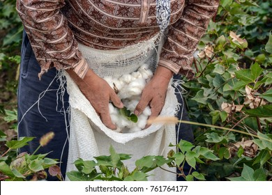 Cotton harvesting. A woman collecting cotton
