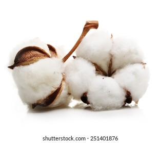Cotton plant flower isolated on white background