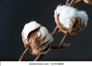 Cotton plant flower on dark background