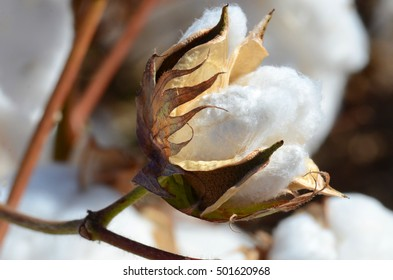 Cotton Plant with Green