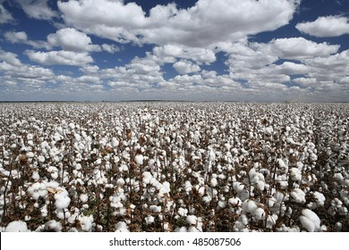 cotton plantation with blue sky and white clouds