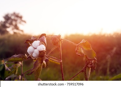 Cotton plantation, farm field