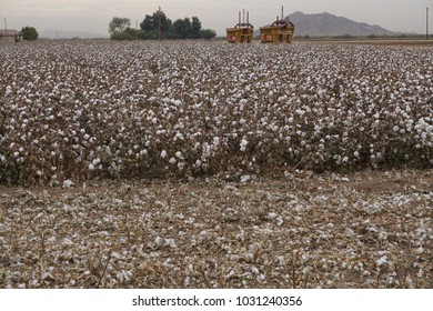cotton plantation, ready to be picked