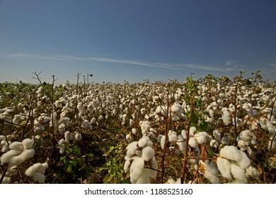 Cotton plantations photographed on the plain of Menemen / Izmir