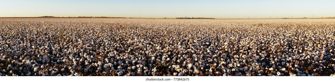 Cotton plants appear in neat rows on a Texas plantation in this long panoramic composition