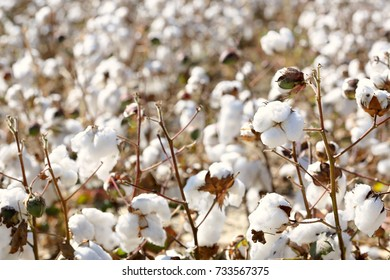 cotton plants in the field on a sunny day