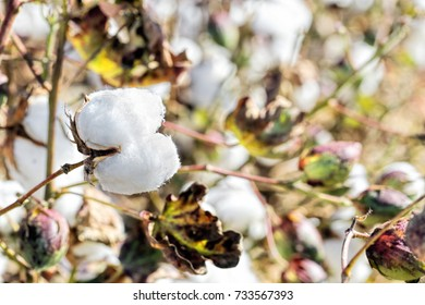 cotton plants in the field on a sunny day close-up