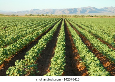 Cotton Plants with rows of cotton