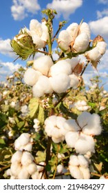 Cotton ready for the harvest