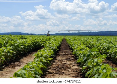 Cotton rows with irrigation equipment in background on a sunny day