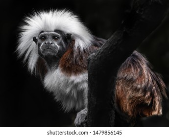 A cotton top tamarin with a huge mop of white hair stares from a tree branch.
