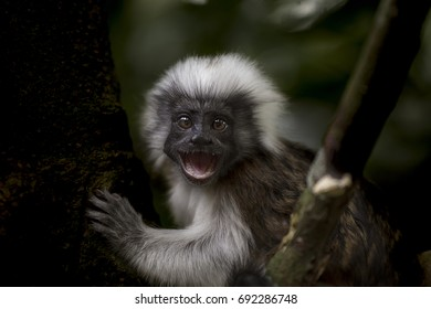 Cotton Top Tamarin Monkey.  The tamarins are squirrel-sized New World monkeys from the family Callitrichidae in the genus Saguinus.