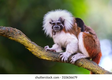cotton top tamarin in a tree in the forest.